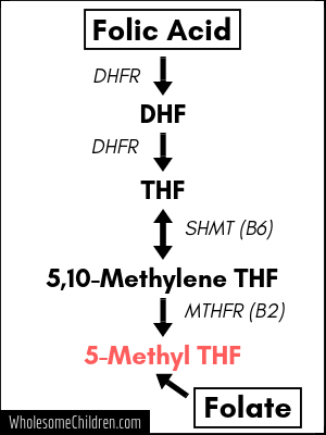 Folic acid metabolism (some interactions not shown).